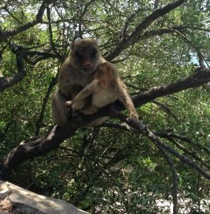 Deze vrolijke apen sieren Gibraltar