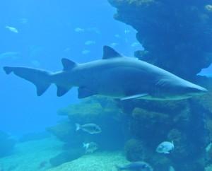 Ook haaien vind je in het Aquarium