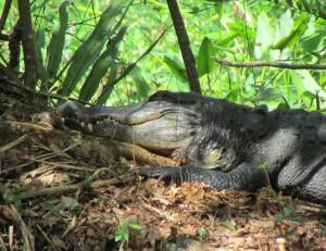 Een alligator in het prachtige Wildlife Refuge
