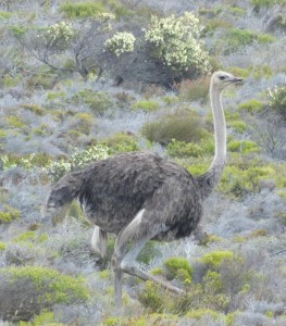 Een struisvogel bij Kaap de Goede Hoop