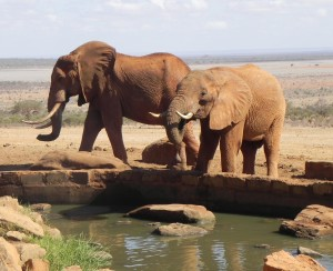 Olifanten drinken bij een waterplaats in Tsavo East.