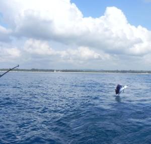Ineens springt de zeilvis uit het water!
