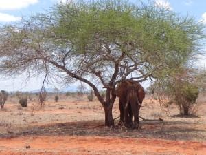 Een Olifant in de schaduw onder de boom.