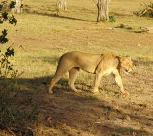 Een leeuwin wandeld rustig langs alle jeeps op.