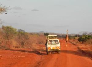 Een Giraf wandeld midden over de weg. Geen haast, Hakuna Matata!
