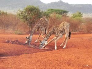 Ja, Giraffen drinken nu eenmaal een beetje apart. Maar wat wil je met zo'n lange nek?