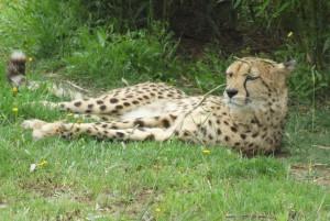 Santa Ignacio Zoo: Een cheetah!