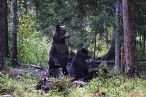 Een familie beren