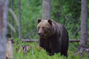 Een Bruine beer op zoek naar voedsel