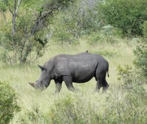 Een neushoorn op een steenworp afstand