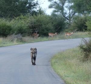Een Hyena loopt op de impala's af. Geen gevaar.
