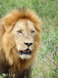 Een Mannetjes leeuw loopt verbaasd rond, Jankt zacht, en loopt rustig verder.