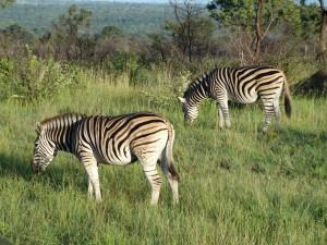 Zebra's genieten van de ochtendzon