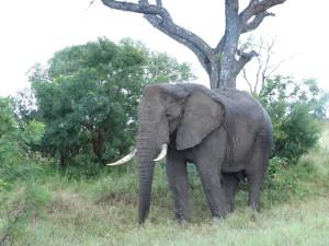 Een olifant zoekt verkoeling onder een boom