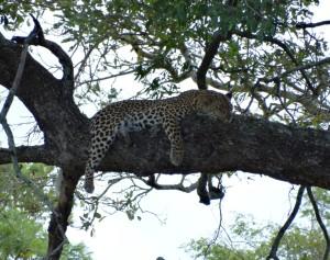 Een Luipaard ligt rustig op de Boom na te genieten van zijn vangst.