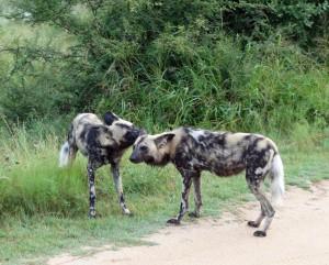 African Wild Dog; Zeldzaam, misschien niet mooi, maar wel gaaf!