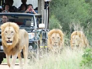 De vier leeuwen wandelen rustig over de weg, op zoek naar een prooi