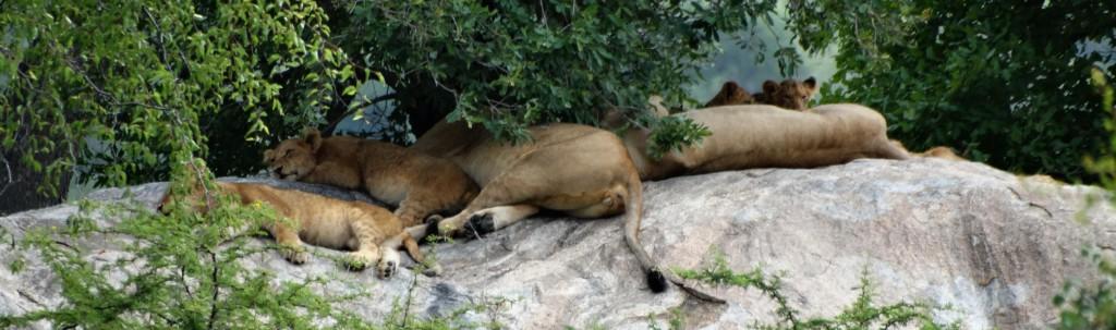 Een groepje leeuwinnen rust met haar welpen
