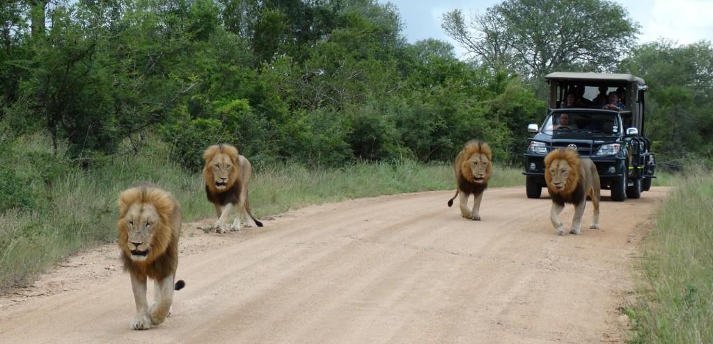 Een groepje leeuwen, midden op straat, wordt gevolgt door een SafariBusje