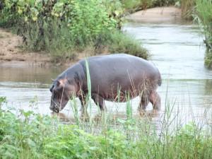 Een Nijlpaard geniet van het water