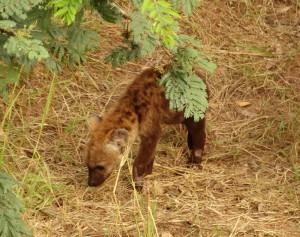Een Hyena Welp ontdekt de wereld!