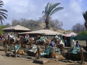 De kamelentocht door de duinen is genieten