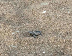 Een zeeschildpad zoekt zijn weg in Cirali