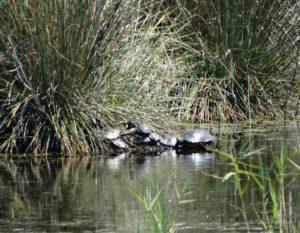Schildpadden op Corfu